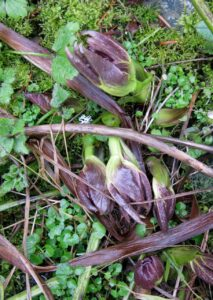 Buds of Black Hellebore